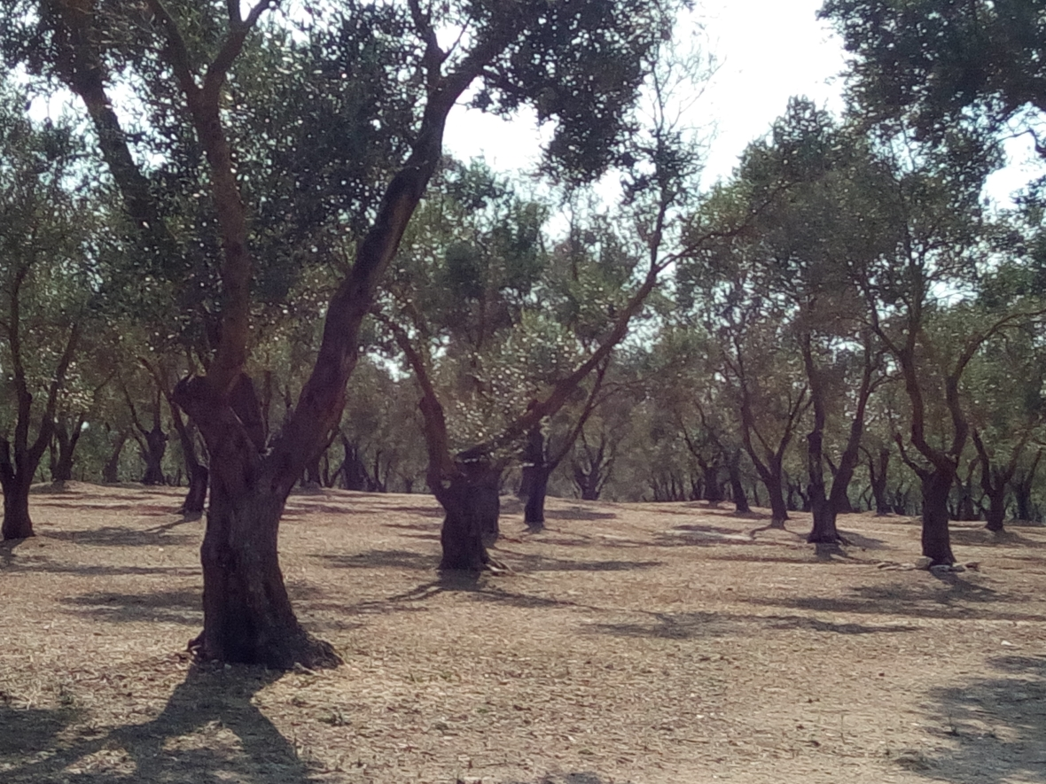 olive tree fields nearby Acaya