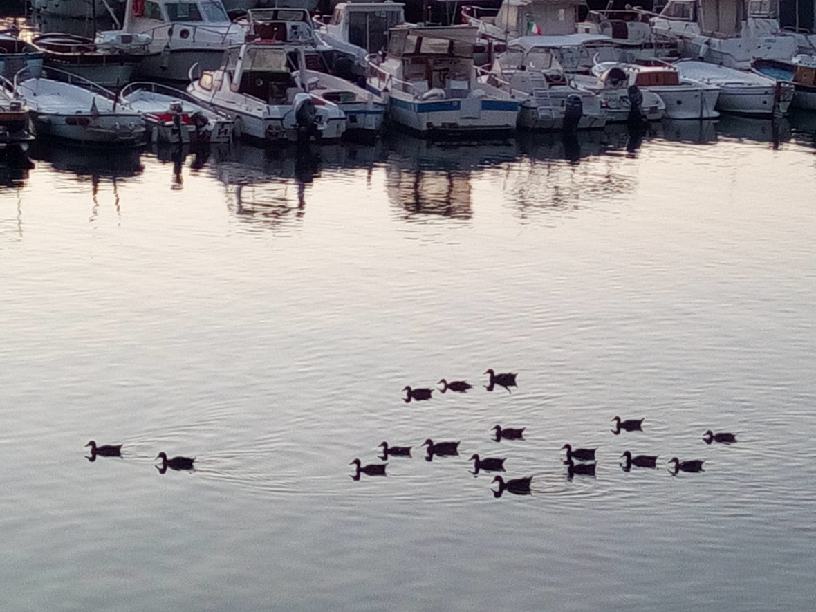 Ducks in the port at sunset