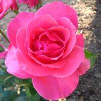Pristina - Roses